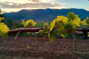 Brotación de las viñas en Bodegas Enate en la D.O. Somontano