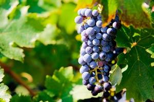 Racimo de uvas en los viñedos en Méntrida de la Bodega Jiménez Landi