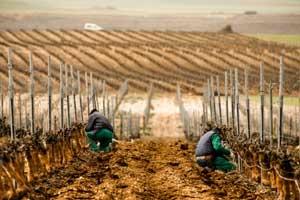 Trabajos a pie de viña en Pago de Carraovejas