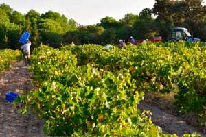 Vendimia en los viñedos de Jiménez Landi en Méntrida