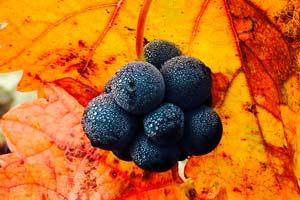Detalle de racimo de uva en la Bodega Marqués de Cáceres