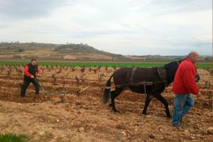 Laboreo en la viña Finca Allende