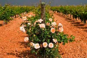 Rosales a pie de viña en Belondrade