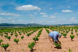 Trabajando en las viñas de Bodegas Mustiguillo