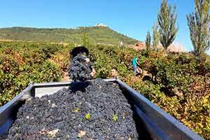 Vendimia en los viñedos de Villamayor de Monjardín