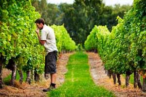 Comprobando el estado de la uva en Kim Carwford